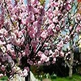 seedusa 10 Seeds Flowering Almond, Flowering Plum Tree (Prunus triloba)