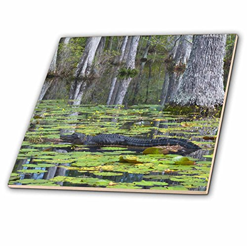 - 3dRose ct_94248_3 South Carolina, Cypress Gardens. Alligator, Swamp-US41 BJA0009-Jaynes Gallery-Ceramic Tile, 8-Inch