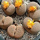 40pcs Lithops Seeds Stone Flower Succulent Plants Potting