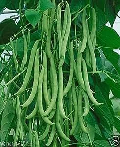 """1/4 lb """"Kentucky Wonder"""" Pole Bean Seeds, a.K.a Old Homestead,Long, green pods,!"""