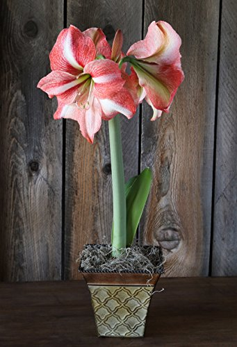 Pink Amaryllis Gift Appleblossom in a Roman Flair Cache Potted Amaryllis Gift!
