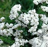 Statice - White - 100 Seeds (Limonium Sinuatum Iceberg) Great For Cut Flowers