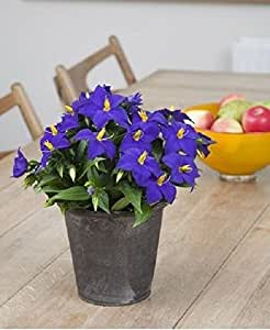 Exacum-Sapphire ,PEL Seeds - ideal for Baskets,Containers & window boxes