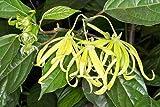 Cananga odorata | Ylang Ylang