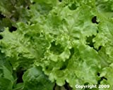 Black-Seeded Simpson Lettuce Seeds- 1,000+ Seeds- Heirloom Variety