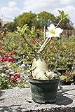Adenium Obesum ~ White Desert Rose ~ Live Plant