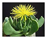 Rhombophyllum dolabriforme - elkhorn plant - 15 seeds