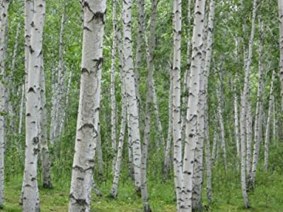Birch, White Birch Hardwood (Excellent Firewood) Tree 275 Seeds! Groco