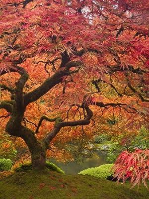 Madera de arce japonés, diseño de jardín japonés Portland, Oregon, USA Póster con diseño de Por William Sutton, 18 x 24: Amazon.es: Hogar