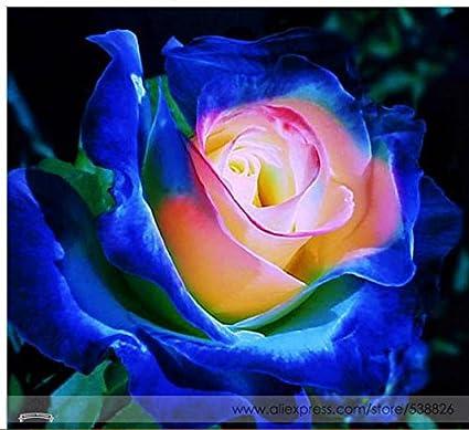Amazon rare blue pink yellow rose bush flower seeds rare blue pink yellow rose bush flower seeds professional pack 50 seeds pack mightylinksfo