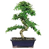 Brussel's Fukien Tea Bonsai - X Large - (Indoor)