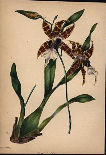 e Petals 1842 antique lithograph hand color botanical print ()