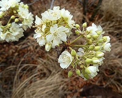 10 Seeds Dombeya rotundifolia African Wild Pear Fruit Tree