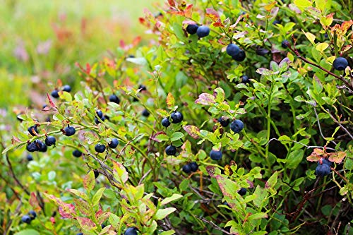(Home Comforts Peel-n-Stick Poster of Blueberries Heather Food Blue Blueberry Plant Vivid Imagery Poster 24 x 16 Adhesive Sticker Poster Print)
