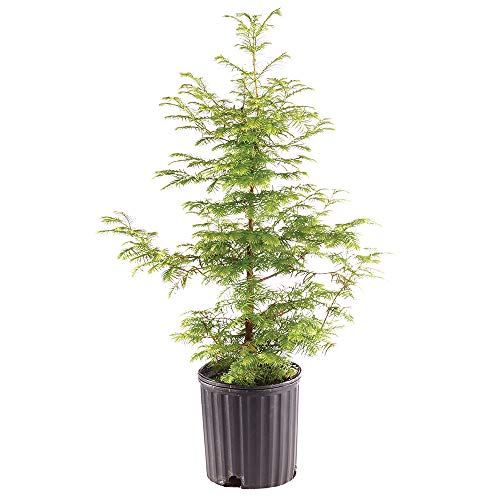 Brussel's Bonsai Live Dawn Redwood Outdoor Bonsai Tree - 5 Years Old 16