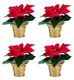 Costa Farms Live Red Christmas Poinsettia Fresh From Our Farm Holiday Decoration, 8-Inches Tall