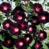 RARE KNIOLAS BLACK NIGHT MORNING GLORY 10 SEEDS