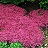 Outsidepride Magic Carpet Creeping Thyme - 1000 Seeds