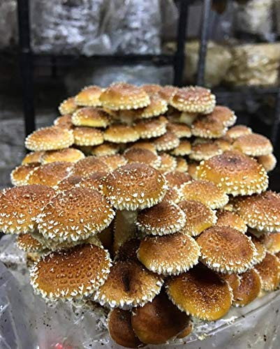 - 100 Chestnut Mushroom Spawn Plugs/Dowels to Inoculate Logs or Stumps to Grow Gourmet and Medicinal Mushrooms - Grown Your Own Mushrooms for Years to Come - Makes a Perfect Gift or a Project