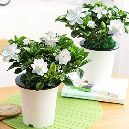 AGROBITS 2 PCS/Bag Gardenia Bonsai (Cape Jasmine) DIY Home Garden Potted Bonsai Amazing Smell Beautiful Flowers Indoor Bonsai Flower