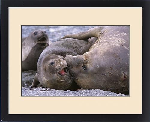 Framed Print of Southern Elephant Seal (mirounga leonina) bull and cow mating, portrait, bull is by Fine Art Storehouse