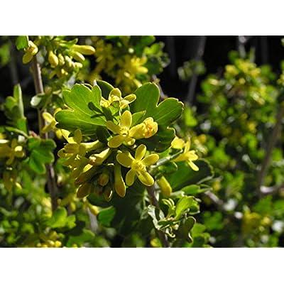 """Ribes Aureum (Golden Currant, Clove Currant, Wax Currant) (3, 5"""" pots, Golden Currant- Yellow) : Garden & Outdoor"""