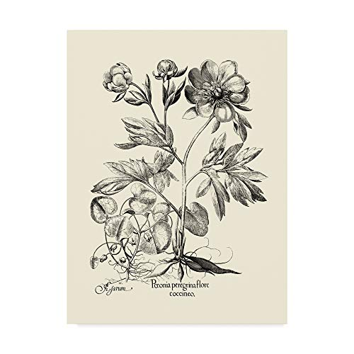 - Trademark Fine Art WAG00865-C3547GG Black and White Peony Iii by Basilius Besler, 35x47-Inch, 35x47 Multicolor