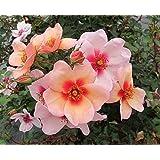Persische-Rose`Smiling Eyes®´