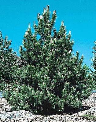 Tree Austrian Pine (50 Austrian Pine Tree Seeds, Pinus Nigra)
