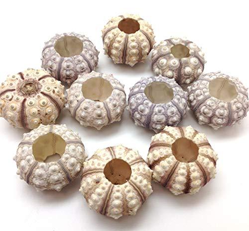 PEPPERLONELY 10PC Sputnik Sea Urchins Sea Shells (1-1/2 Inch ~ 2 Inch), for Crafts, Air Plants, Beach Weddings, Decoration ...