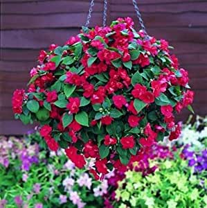 Impatiens Double Carousel Series Red Annual Seeds