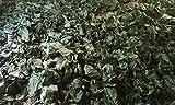 Alchornea Cordifolia - Dry Leaves 8 oz
