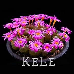 22 tipos mixtos semillas 100 semillas suculentas Lithops Pseudotruncatella Bonsai plantas Semillas para el hogar y el jardín, # J4V980