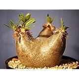 Pachypodium horombense - plante caudex - 3 graines
