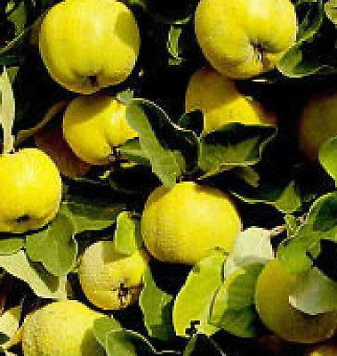 1 Provence Quince Fruit Tree Seedling Hardy Edible Pear Family Live Plant Sweet Fresh