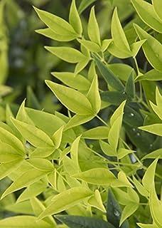Amazoncom Wedding Ring Boxwood Buxus Evergreen Proven