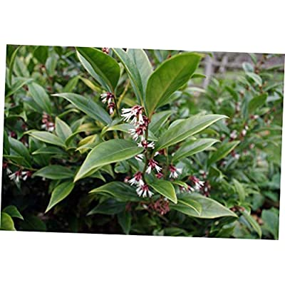 CJI 1 Plant Sarcococca orientalis Sweet Box Shrub - RK286 : Garden & Outdoor