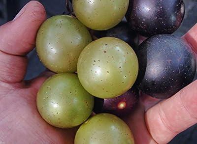 #1194 Tame Giant Muscadine Grape* Mix 7seeds