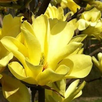 Magnolia denudata yellow river shrub in a 3 litre pot approx 80 magnolia denudata yellow river shrub in a 3 litre pot approx 80 90cm tall mightylinksfo