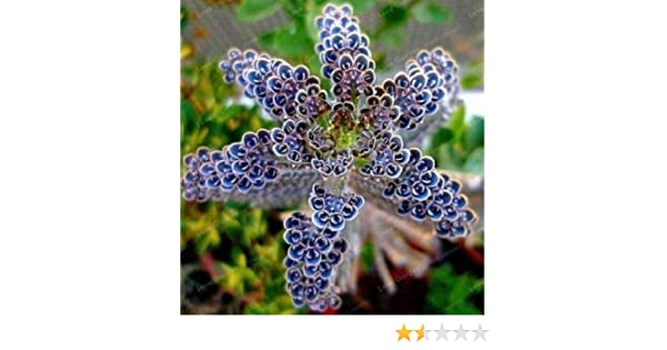 Amazon.com : 25 Rare Dark Blue Kalanchoe Seeds Succulent Flower Home Exotic Plant Garden : Garden & Outdoor