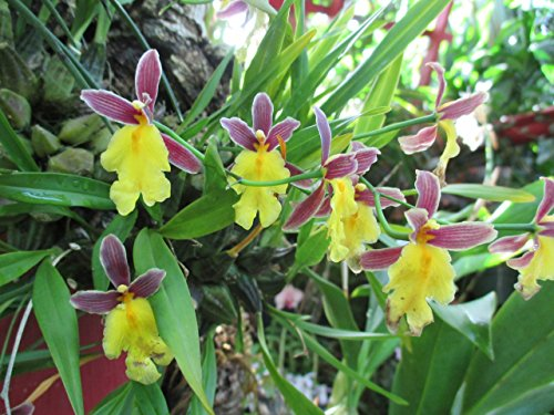 Oncidium Ghiesbreghtiana from the Orchid family with over 28000 species .