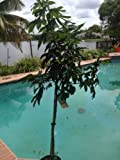 Sweetheart Lychee tree air layered live plant