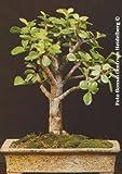 TROPICA - Árbol de jade (Crassula arborescens) - 50 semillas- Bonsai