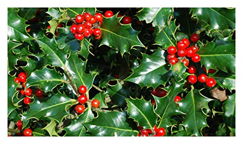 "Nellie R Stevens Holly Tree - Healthy 4"" Potted Evergreen Plant - 9""- 16"" Tall - 12 Pack"