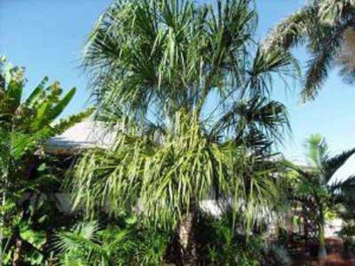 5-seeds-livistonea-decora-ribbon-fan-palm-5-seeds