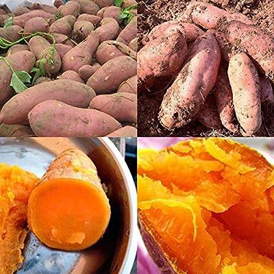 200Pcs Sweet Potato Seeds Bonsai Garden Delicious Fruit Vegetable Farm Plant -Garden Vegetable Flower Planting Fun : Garden & Outdoor
