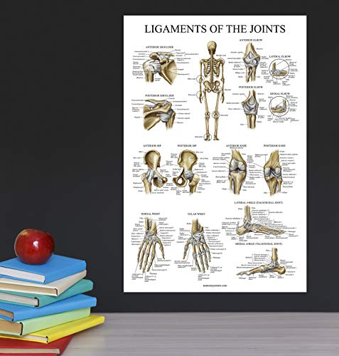 Muscular System /& Shoulder Anatomy Poster Set 2 Poster Set Palace Learning Laminated Anatomical Muscle and Shoulder Charts