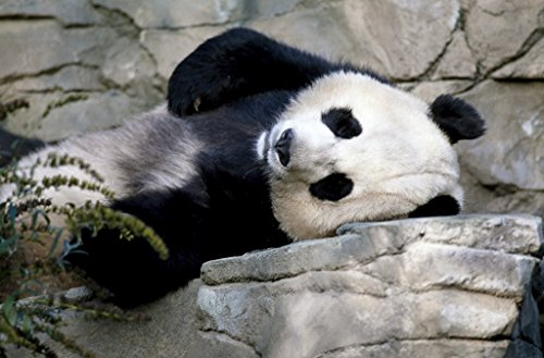 Photograph| A giant panda, the star attraction at the Smithsonian Institution's National Zoo, Washington, D.C. 4 Fine Art Photo Reproduction 12in x 08in