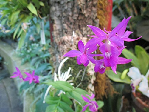 Barkeria lindleyana: Orchid