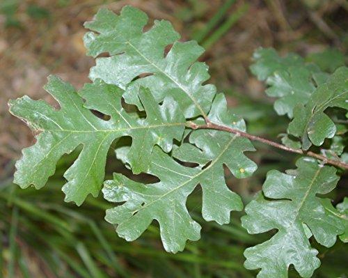 Buy red oak seedlings